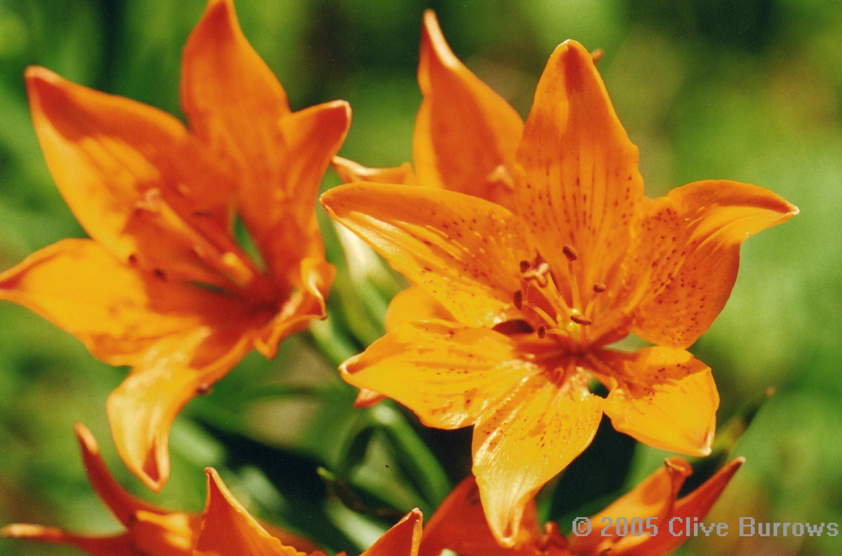 Spanish pyrenees wildlife buterflies etc pyrenees spain lily izmirmasajfo Image collections